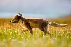 白狐,狐狸雷鸟属,在自然栖所 Fox在有花的草草甸,斯瓦尔巴特群岛,挪威 在blo的美丽的动物 库存图片