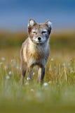 白狐,狐狸雷鸟属,逗人喜爱的动物画象在自然栖所,有花的草草甸,斯瓦尔巴特群岛,挪威 免版税图库摄影