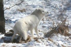 白狐-冬天方面 免版税图库摄影