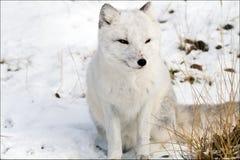白狐 库存照片