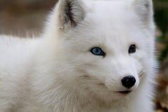 白狐 免版税库存照片