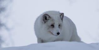 白狐 库存图片