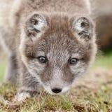 白狐崽 库存图片