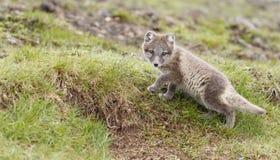 白狐崽 图库摄影
