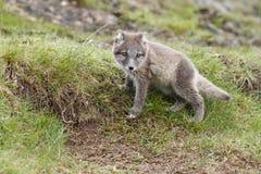 白狐崽 免版税库存照片