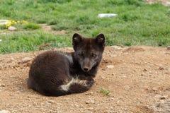 白狐崽 库存照片