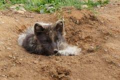 白狐崽 免版税图库摄影