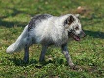白狐(Alopex雷鸟属) 免版税库存照片