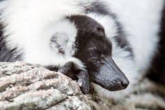 黑白狐猴Vari在动物园森林里ruffed狐猴 免版税库存图片