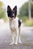 黑白狗。 免版税库存图片