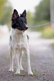 黑白狗。 免版税库存照片