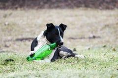 黑白狗在草说谎并且设法打开塑料绿色瓶用柠檬水 免版税图库摄影
