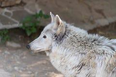 白狼天狼犬座albus寒带草原狼或与一个被致残的爪子,人的惨暴的受害者在动物园里 免版税库存照片