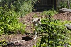 白狼来了到边缘 免版税库存图片