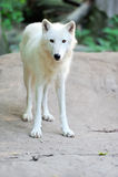 白狼 免版税库存照片