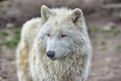 白狼 免版税图库摄影
