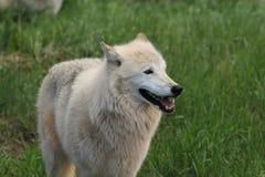 白狼 免版税库存图片