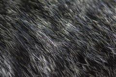 黑白猫毛皮纹理 免版税图库摄影