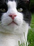 黑白猫特写镜头 免版税库存照片