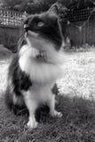 黑白猫纵向 库存照片