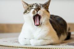 黑白猫,打呵欠的猫 免版税库存照片