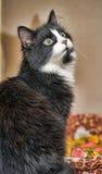 黑白猫 免版税图库摄影