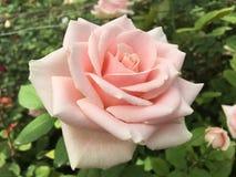 白玫瑰侧视图 免版税库存图片