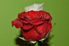 白玫瑰和英国兰开斯特家族族徽 库存图片