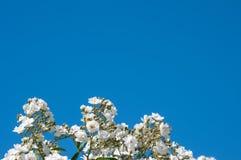 白玫瑰和蓝天背景 免版税库存图片