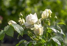 白玫瑰在庭院里 免版税图库摄影