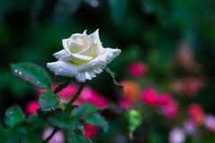 白玫瑰在庭院Fron泰国里 库存图片