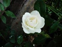 白玫瑰在我的庭院里 库存照片