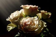 白玫瑰在阳光下 库存照片