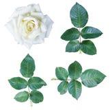 白玫瑰孤立 免版税图库摄影