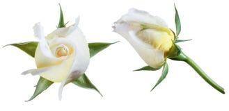 白玫瑰孤立 库存图片