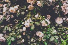 白玫瑰树篱 库存照片