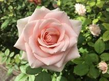 白玫瑰正面图 图库摄影