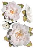 白玫瑰的汇集 库存图片