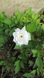 白玫瑰美好的创作 库存照片