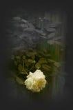 白玫瑰 免版税库存照片