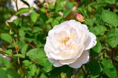 白玫瑰 库存照片
