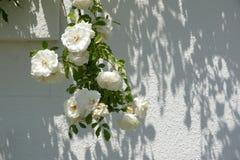 白玫瑰10 库存照片