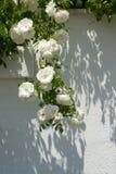 白玫瑰11 免版税库存照片