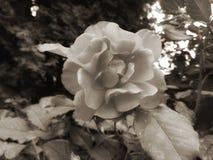 黑白玫瑰 免版税图库摄影