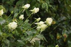 白玫瑰FLOWWERS和多雨下落 免版税图库摄影