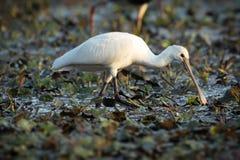 白琵鹭在水中 图库摄影