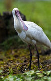 白琵鹭 库存图片