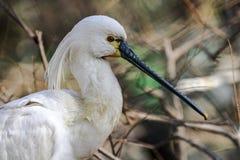 白琵鹭 免版税库存图片