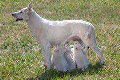 白瑞士护羊狗母亲 库存图片