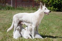 白瑞士护羊狗母亲 免版税库存照片